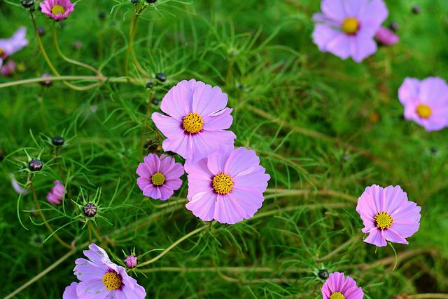 Cosmos, Cosmos Bipinnatus, Blossom, Bloom, Flower
