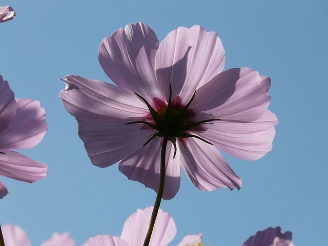 Cosmos, Blossom, Bloom, Cosmos Bipinnatus