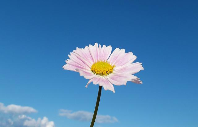 Flower, Cosmos, Macro, Close, Pink Flower, Sky, Clouds