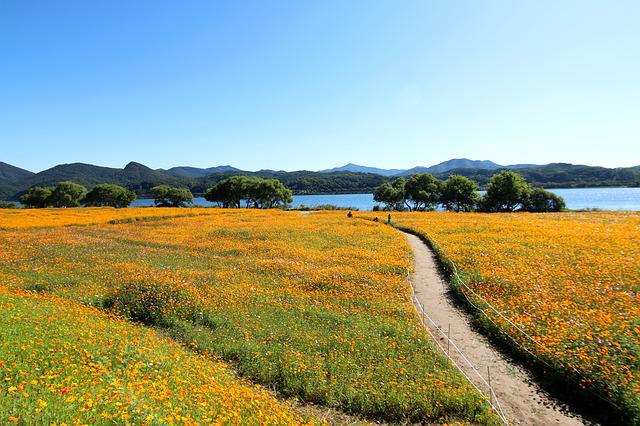 Cosmos, The Hive, Cosmos Field, Flower Garden, Flowers