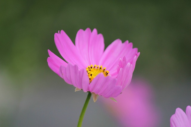 Cosmos Flower, Cosmos, Flower, Bloom, Pollen, Purple