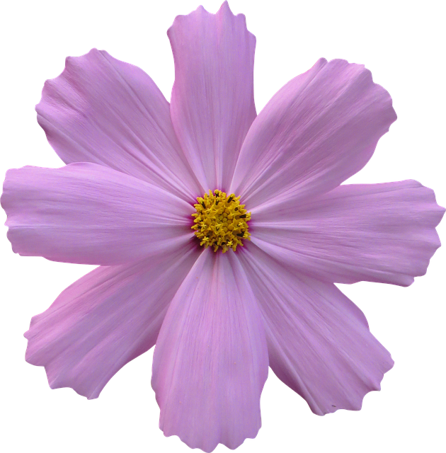 Cosmos Flower Garden Nature Purple