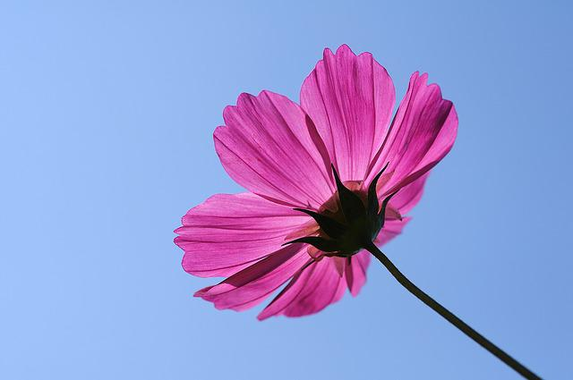 Flower, Universe Plant, Cosmos, Single, Pink Petals