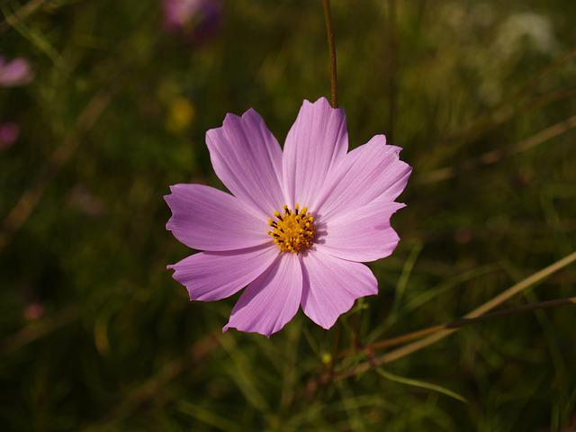 Nature, Flowers, Plants, Cosmos
