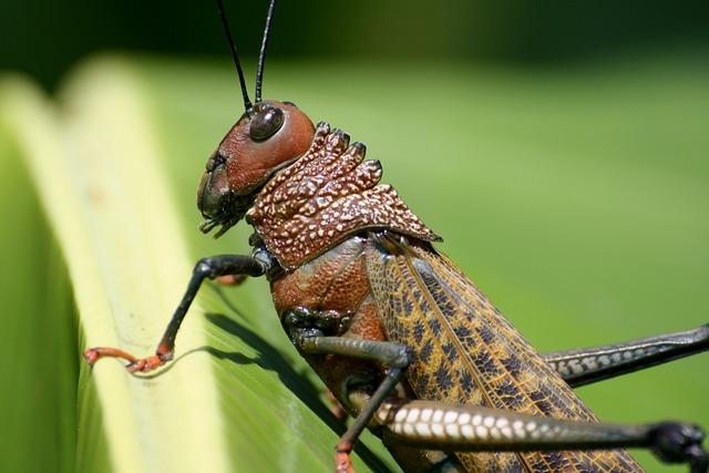 Grasshopper, Insect, Costa Rica
