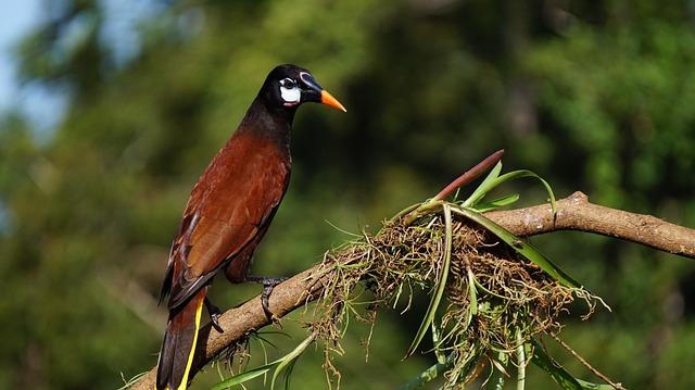 Montesuma Oropendola, Costa Rica, Nature, Rain Forest