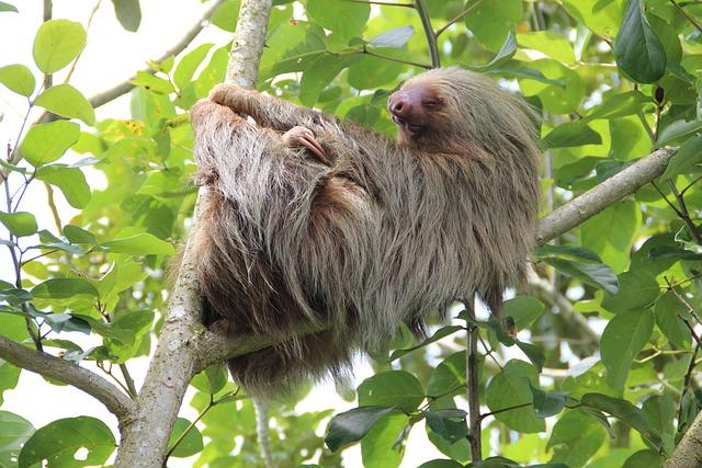 Sloth, Costa Rica, Rainforest