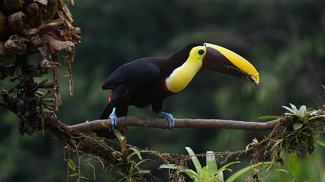 Toucan, Chestnut, Bird, Costa Rica
