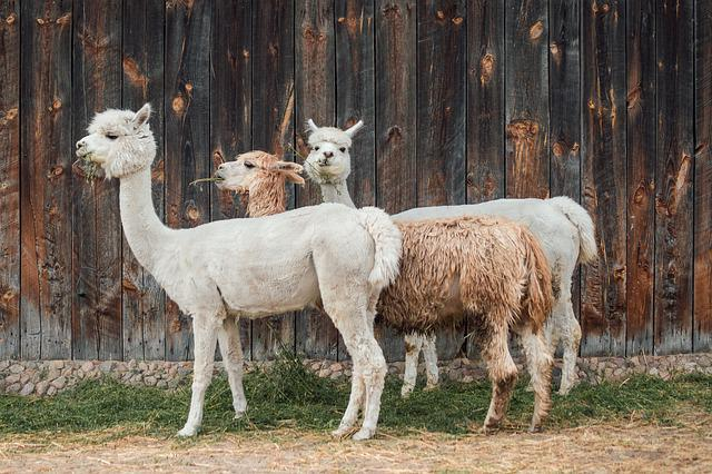Alpaca, Cottages-vacation Rentals, Wool, Fur