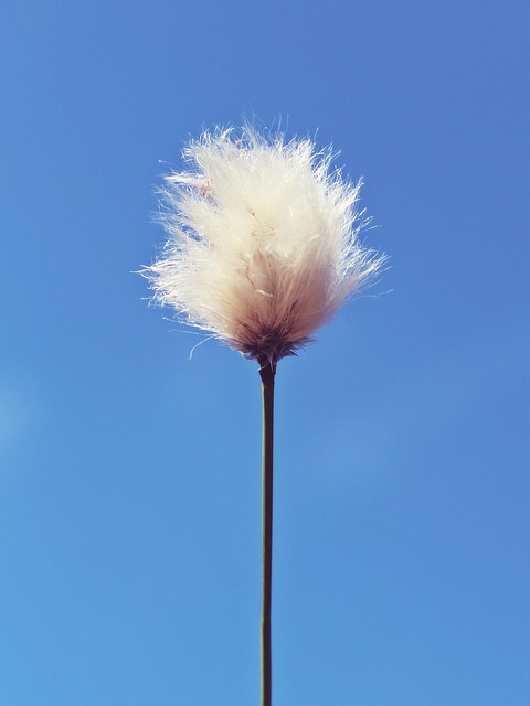 Cottongrass, Moor, Cotton Flower, Sunny, Sky, Blue, Sun