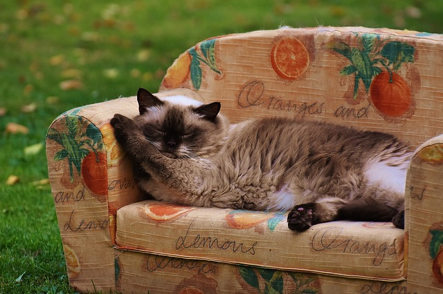 Sofa, Couch, Cat, British Shorthair, Thoroughbred, Fur