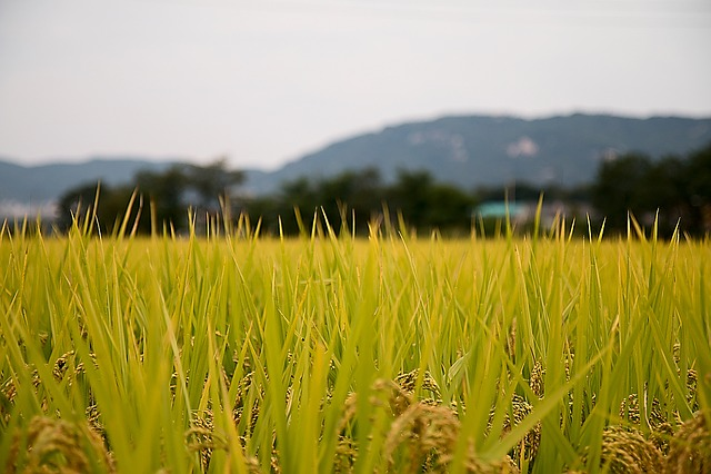 Rice Paddies, Country, Sulawesi, Autumn