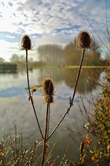 Thistles, Winter, Countryside, Lake, Plant, Natural