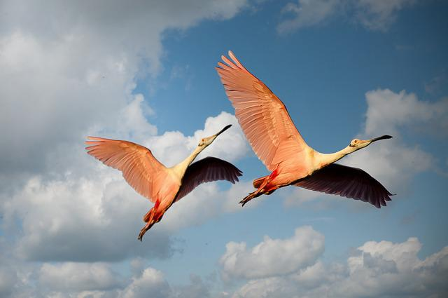 Animals, Flamingos, Birds, Couple, Wings, Flying, Pink