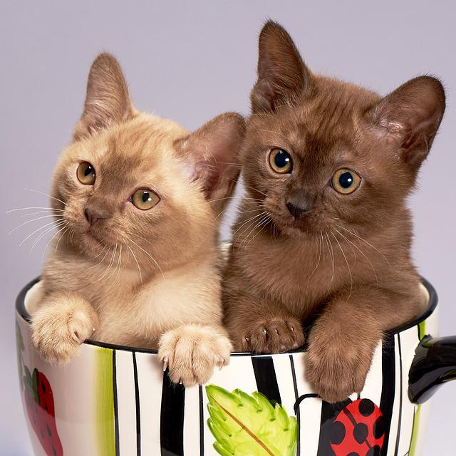 Cat, Kitten, Cute, Pet, Animals, Couple, Kittens