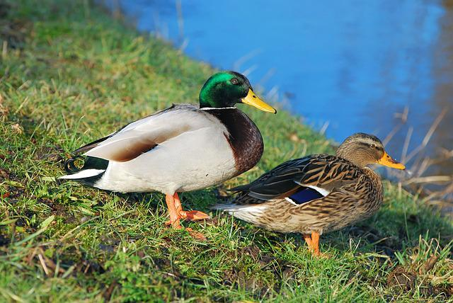 Ducks, Pair Of Ducks, Water, Couple, Pair, Nature