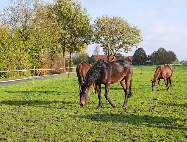 Horses, Coupling, Black-brown, Farm, Meadow, Grass
