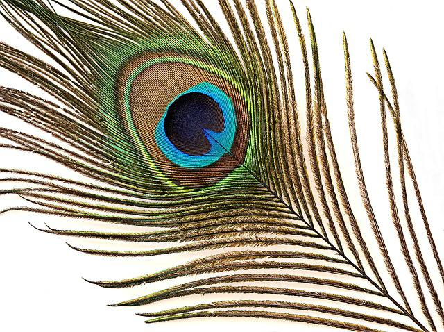 Peacock, Feather, Iridescent, Courtship, Display