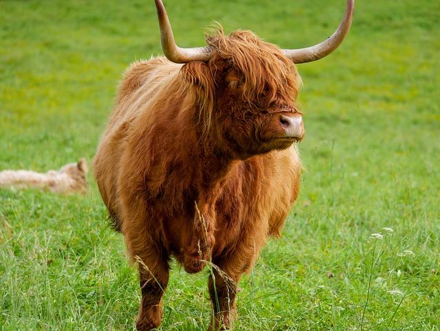 Animal, Highland Beef, Beef, Scotland, Cow, Ox, Meadow