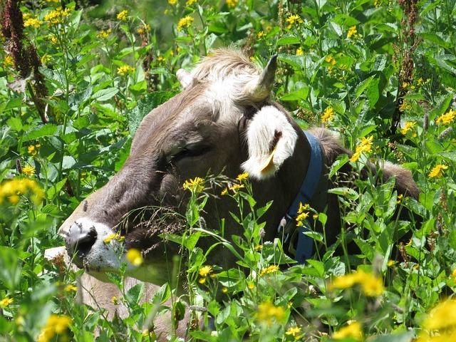 Cow, Austria, Flowers