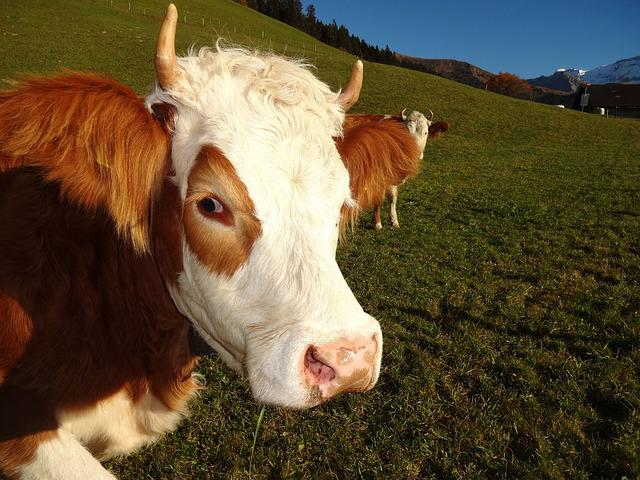 Cow, Simmental Cow, Steering, Bernese Oberland, Horn