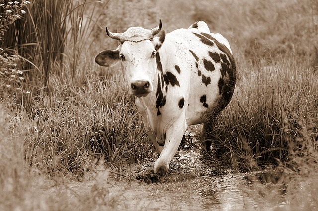 Cow, Bovine, Spotted, Water, Vegetation, Pet