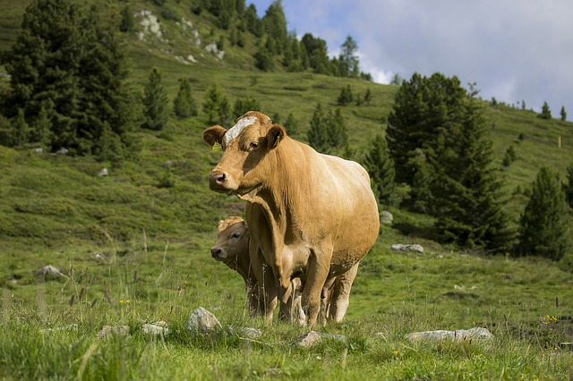 Cow Calves With, Young Calf, Mountain Pasture, Alps