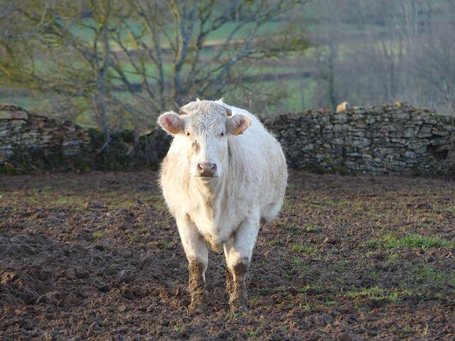 Cow, Animal, Farm, Cows, Countryside, Nature