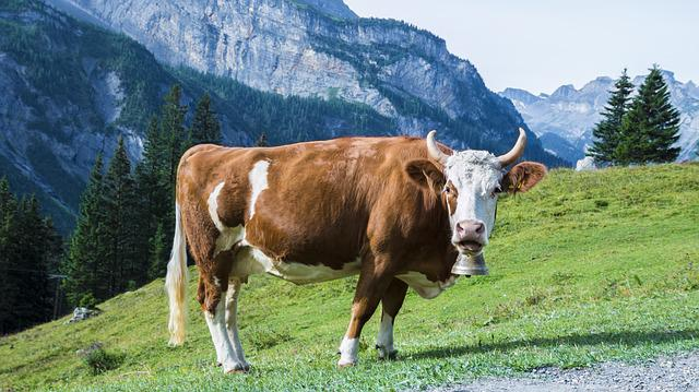 Cow, Meadow, Pasture, Mountains, Horns, Black And White