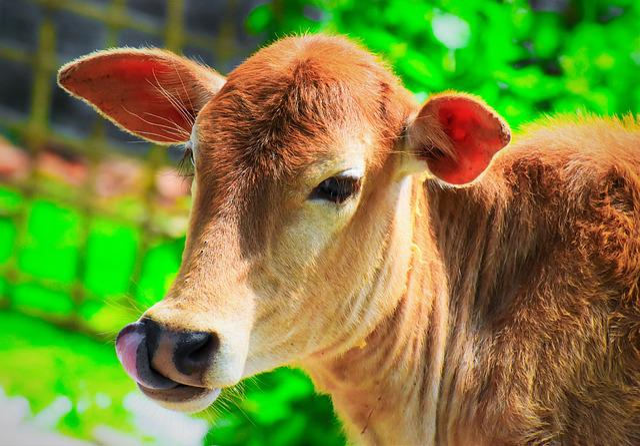 Animal, Cow, Milk, Cattle, Nature