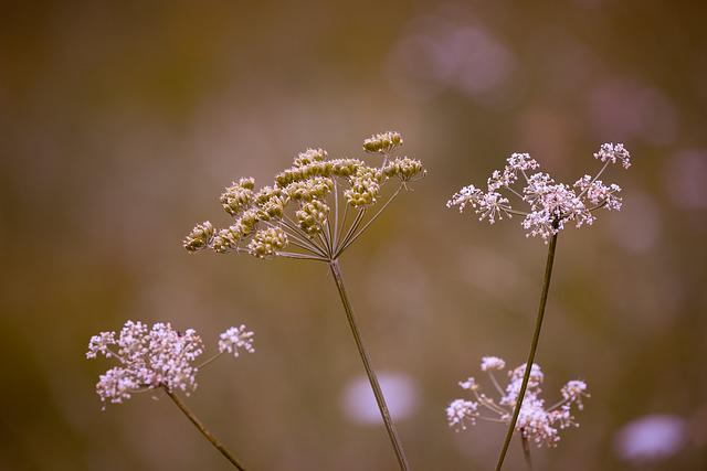 Cow Parsley, Flowers, Grassland Plants, White, Chervil