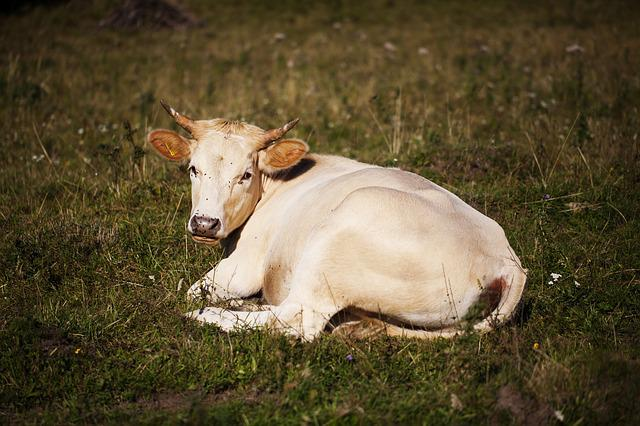 Cow, Pasture, Village, Slovakia, White, Grass, Pet