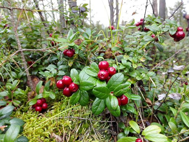 Forest, Berry, Cowberry