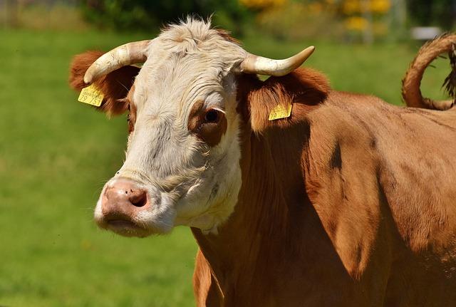 free photo cows cow cute dairy cattle allg u00e4u ruminant
