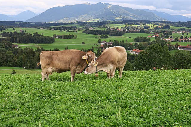Cows, Meadow, Mountains, Pasture, Livestock, Nature