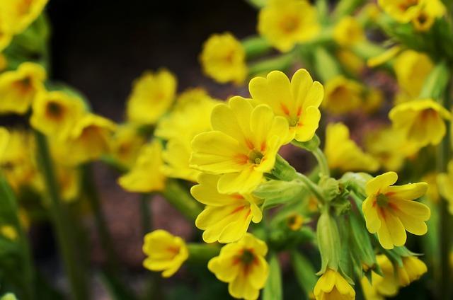 Cowslip, Spring, Yellow, Bloom, Spring Primrose