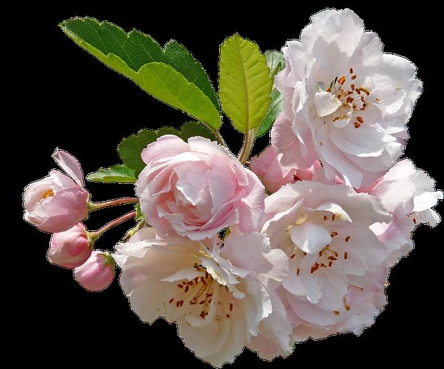 Blossom, Crab Apple, Tree