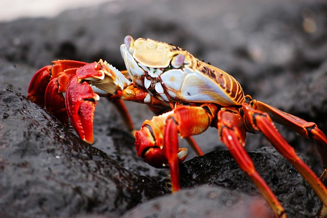 Crab, Galapagos, Nature, Island, Animal, Wildlife