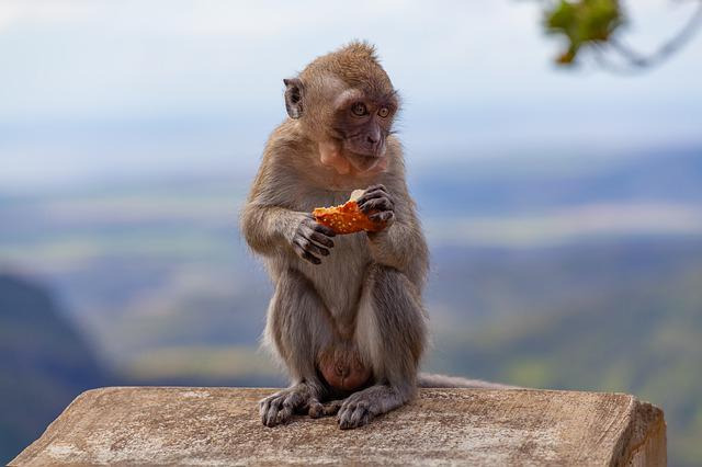 Long Tailed Macaque, Crab-eating Macaque, Macaque