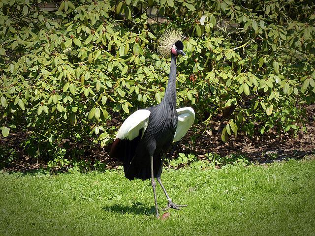 Black Grey Crowned Crane, Crane, Bird, Headdress