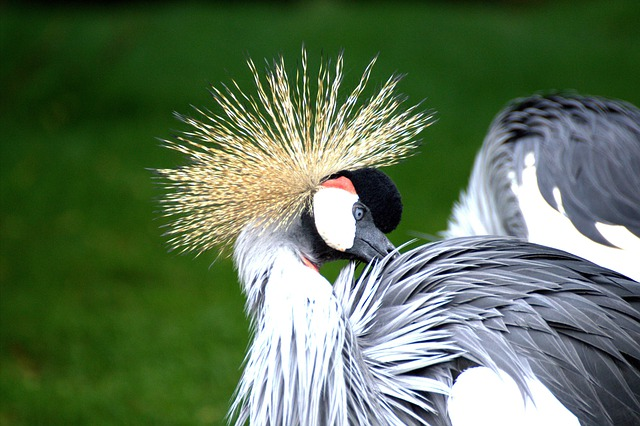 Grey Crowned Crane, Eastern Crowned Crane, Crane