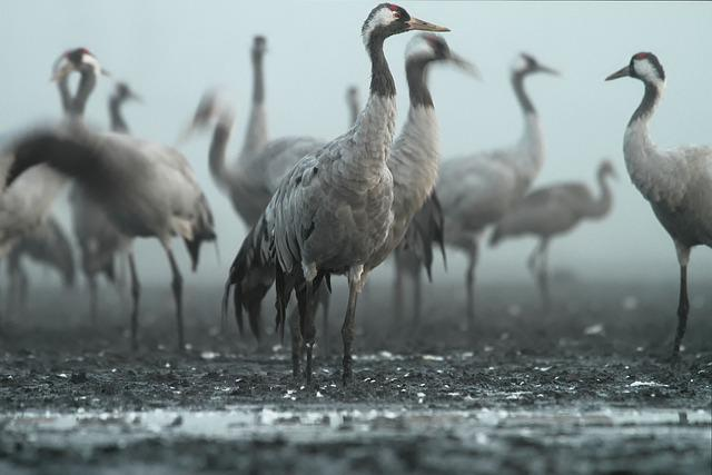 Crane, Bird, Birds, Foto, Harrysly, Marsh, Morning
