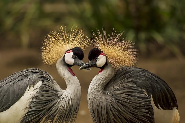Grey Crowned Cranes, Birds, Cranes, Pair, Pair Of Birds