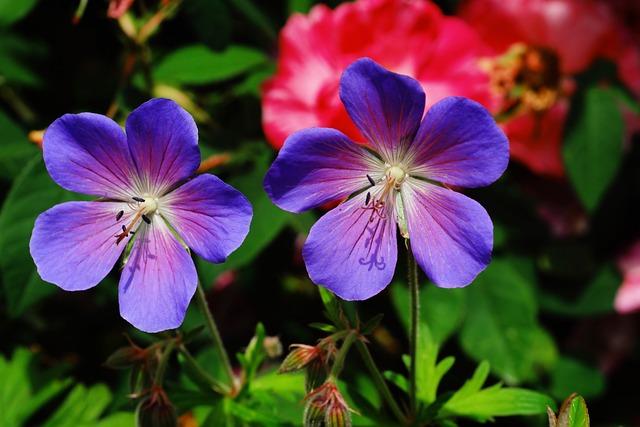 Flower, Flowers, Cranesbill, Nature, Plant