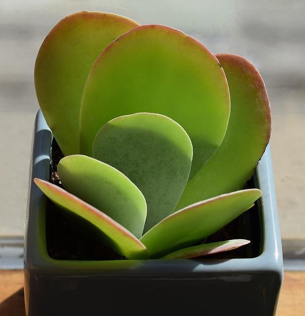 Succulent In Blue Pot, Crassula Arborescense