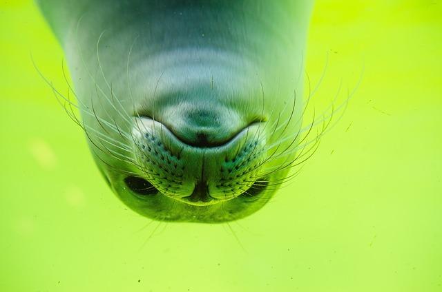 Crawl, Seal, North Sea, White Robbe, Seal Baby, Swim