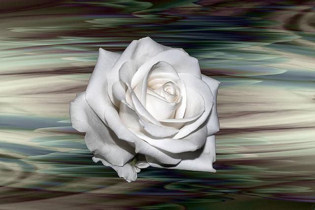 Rose, White, Background, Flower, Flowers, Creative