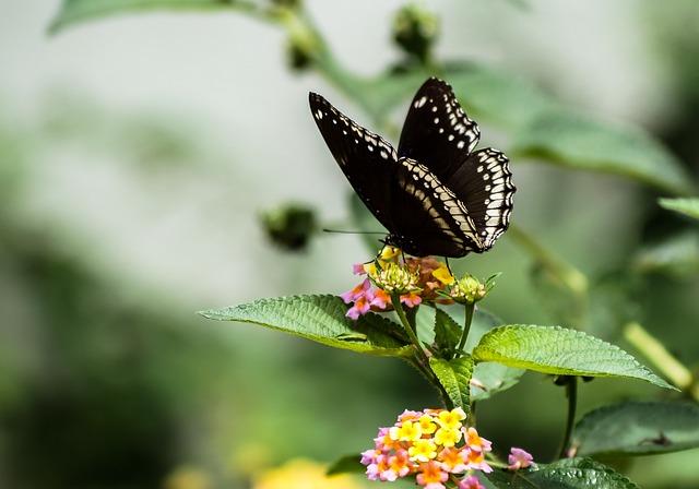 Butterfly, Black, White, Sucking Honey, Creative