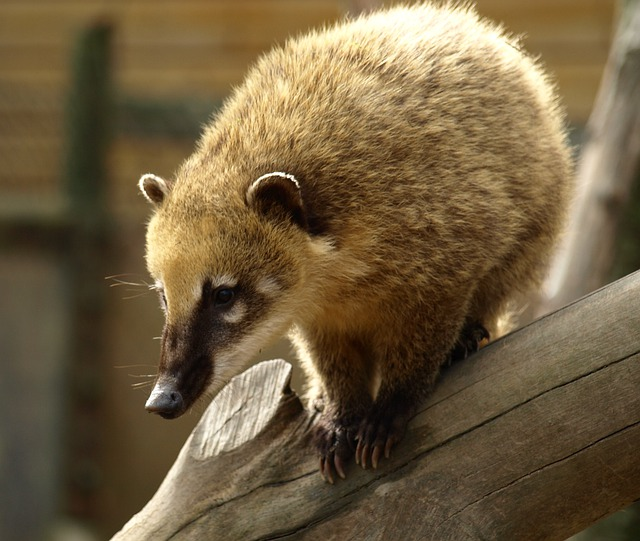 Coati, Bear, Animal, Creature, Nasua
