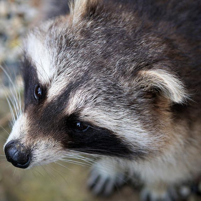 Raccoon, Bear, Furry, Animal, North America, Creature